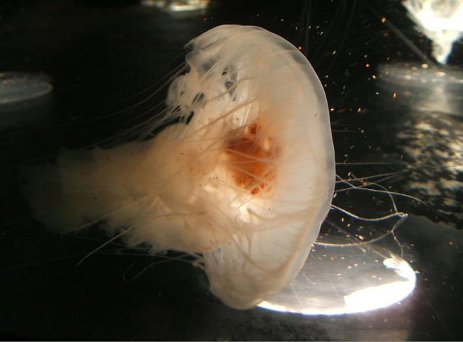 Egg-yolk jellyfish (Phacellophora camtschatica). Photo by Steven G. Johnson.