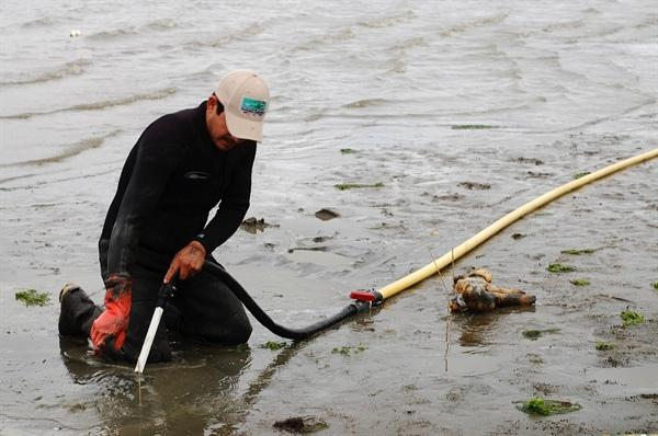 Harvesting geoduck. Image courtesy Washington Sea Grant.
