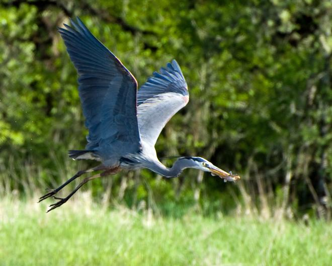 Great blue heron (Ardea herodias). Photo by George Gentry, U.S. Fish and Wildlife Service.