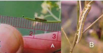First (A) and five instar (B) caterpillars of island marble (photos by Amy Lambert).