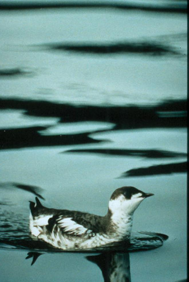 Marbled murrelet (Brachyramphus marmoratus). Photo by Gus Van Vliet, U.S. Fish and Wildlife Service.