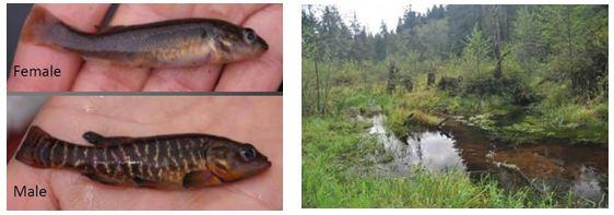 Olympic mudminnows are sexually dimorphic (left); typical wetland habitat (right) (Glasgow and Hallock 2009).