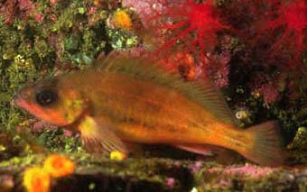 Puget Sound rockfish (Sebastes emphaeus). Image courtesy of NOAA.