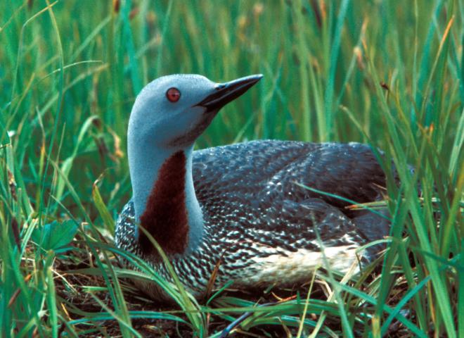 Red-throated loon (Gavia stellata). Photo by Dave Menke, U.S. Fish and Wildlife Service.