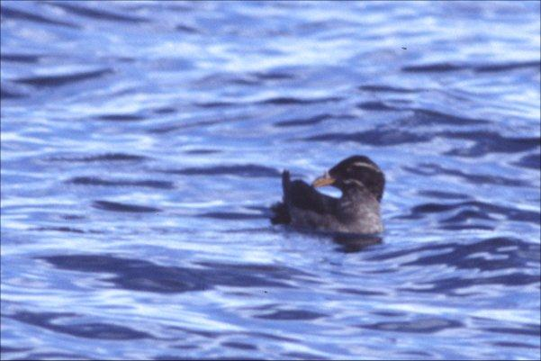 Rhinoceros auklet (Cerorhinca monocerata). Photo by Scott Streit, used with permission.