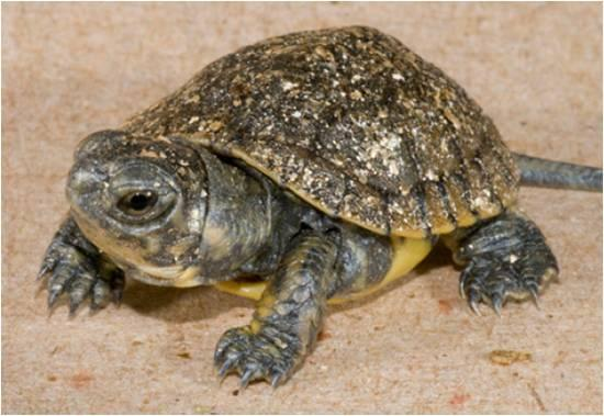Figure 2. Young turtle at Woodland Park Zoo (photo from Woodland Park Zoo).