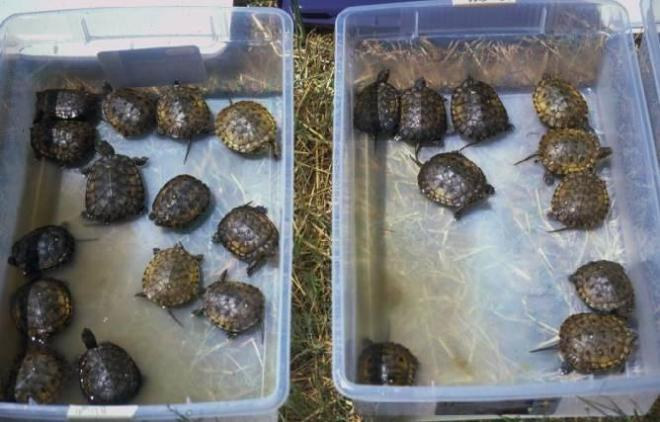 Figure 3. Head-started western pond turtles ready for release. Photo by D. Stinson.