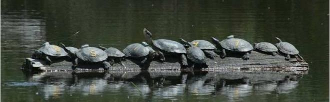 Figure 4. Western pond turtles basking at Pierce County site. Photo by Mike Walker.