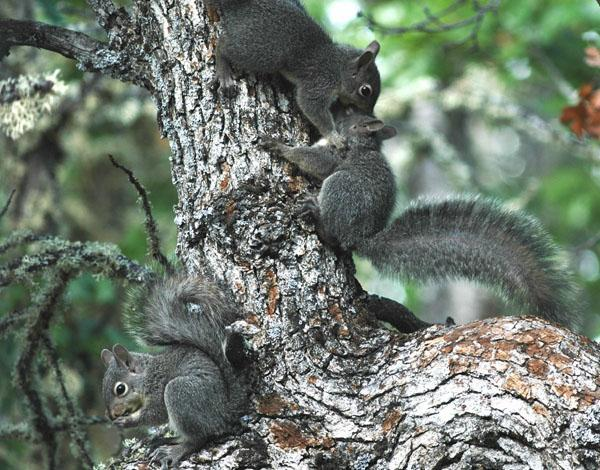 Figure 3. Juvenile western gray squirrels. Photo by Matt Vander Haegen.