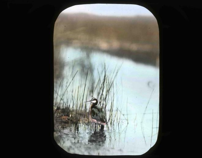 Western grebe (Aechmophorus occidentalis). Image by Finley and Bohlman, courtesy U.S. Fish and Wildlife Service.