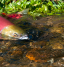 Wild sockeye salmon in Adams River, BC. Photo: Province of British Columbia (CC BY-NC-ND 2.0) https://flic.kr/p/L6McUY