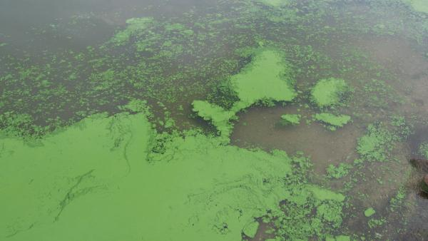 Algal bloom. Photo: Eutrophication&Hypoxia (CC BY 2.0) https://www.flickr.com/photos/48722974@N07/5120831456