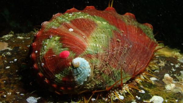 Pinto abalone. Photo: Taylor Frierson
