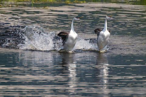 Courtship dance of western grebes. Photo: Manal (CC BY 2.0) https://www.flickr.com/photos/manal/14263057908