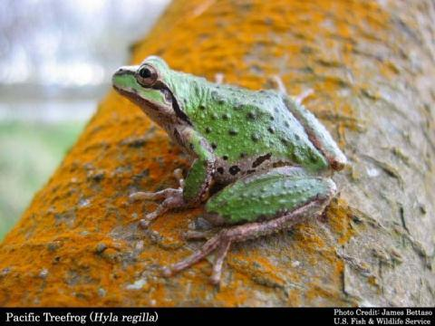 Pacific Treefrog; photo by James Bettaso, U.S. Fish and Wildlife Service
