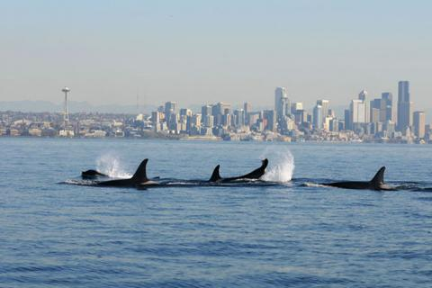 New theories are rethinking how toxic chemicals like PCBs enter Puget Sound's endangered orca populations. Photo courtesy of NOAA.