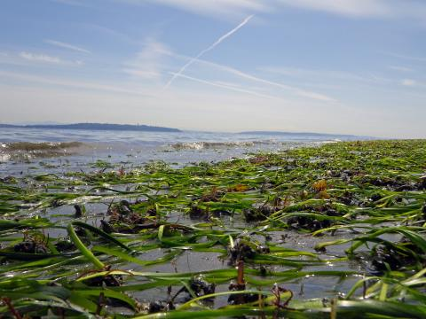 An eelgrass bed near Bainbridge Island, Washington. David Ayers/USGS