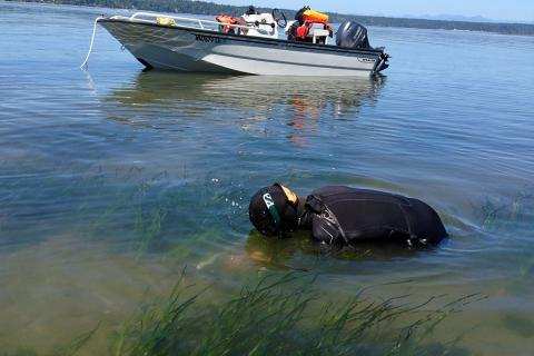 Jeff Gaeckle measures the length of the eelgrass blades as part of a monitoring project near Joemma Beach State Park in South Puget Sound. Photo: Chris Dunagan