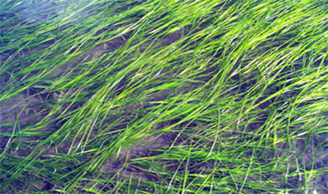 Eelgrass bed. Image courtesy of NOAA.