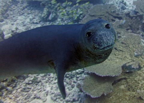 A Hawaiian monk seal at Papahānaumokuākea Marine National Monument. Photo by: Karen Bryan/Hawaiian Institute of Marine Biology (CC BY-NC 2.0) https://www.flickr.com/photos/papahanaumokuakea/38322932854