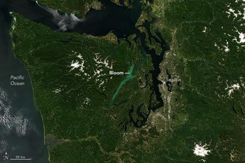 A milky, turquoise, phytoplankton bloom in Hood Canal visible from space. Natural color MODIS image from Landsat 8 acquired July 24, 2016. Photo: NASA Earth Observatory https://earthobservatory.nasa.gov/NaturalHazards/view.php?id=88454