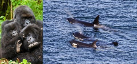 Left: mountain gorillas. Photo: Andries3 (CC BY-NC 2.0) https://www.flickr.com/photos/andriesoudshoorn. Right: J pod southern resident orcas – Photo: Miles Ritter (CC BY-NC-SA 2.0) https://www.flickr.com/photos/mrmritter/42903242165