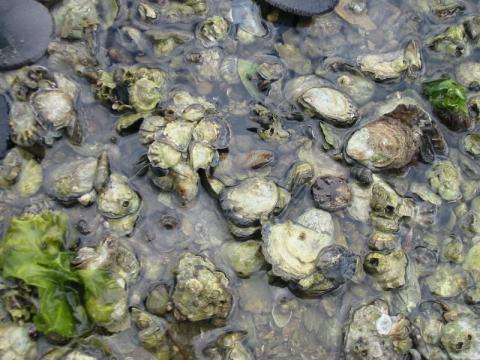 Olympia oysters in Washington. Image courtesy of NOAA.