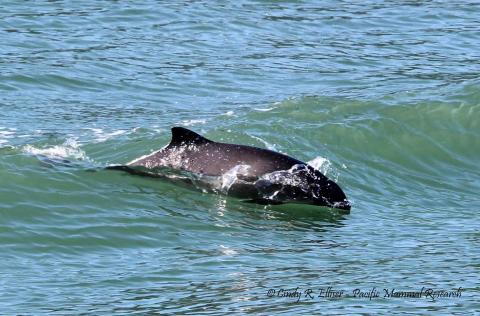 A harbor porpoise surfing in a boat wake in Burrows Pass, off Fidalgo Island, WA. Photo: Copyright Cindy R. Elliser, Pacific Mammal Research http://pacmam.org/