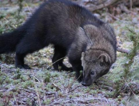 Fisher (Pekania pennanti) | Encyclopedia of Puget Sound