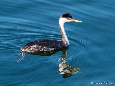 Western grebe. Public Pier, Blaine, WA. Photo: Andrew Reding https://www.flickr.com/photos/seaotter/10298390254