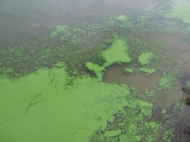 Toxic algal blooms are sometimes associated with invasive plankton. Photo: Eutrophication&Hypoxia (CC BY 2.0) https://www.flickr.com/photos/48722974@N07/5120831456