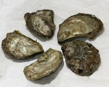 Olympia oysters. Photo: VIUDeepBay (CC BY 2.0) https://www.flickr.com/photos/viucsr/5778358466