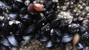 Bay Mussels (Mytilus trossulus) on Edmonds Ferry Dock. Photo [cropped]: brewbooks (CC BY-SA 2.0) https://www.flickr.com/photos/brewbooks/8840874065