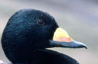 Black Scoter (Melanitta negra), one of seven new birds added to a Salish Sea-wide list of species of concern. Photo courtesy of USGS.
