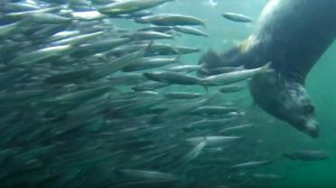 A harbor seal hunting anchovies. From Howe Sound Ballet video by Bob Turner: https://youtu.be/Ycx1hvrPAqc