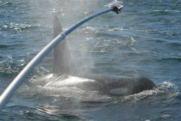 Mist from the breath of killer whales is collected at the end of a long pole then tested for dozens of different types of bacteria. Photo: Pete Schroeder