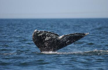 Tail of a gray whale showing above water