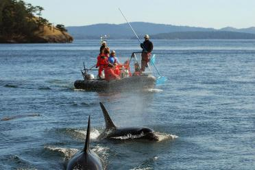 Researchers in a boat near killer whales