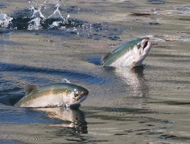Salmon leaping out of water. Photo: Ingrid Taylar (CC BY-NC 2.0) https://flic.kr/p/Mj1SqS