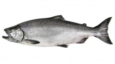 Chinook salmon (Oncorhynchus tshawytscha). Photo: WDFW