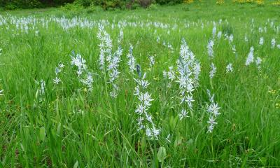 Field of camas lilies