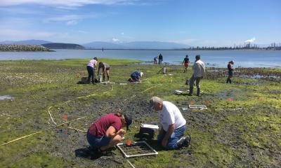 Fidalgo Bay Citizen's Stewardship Committee volunteers conduct intertidal monitoring surveys during low tide at Fidalgo Bay Aquatic Reserve. Photo: Erica Bleke/DNR