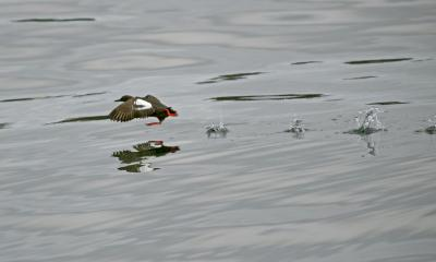 Pigeon guillemot taking flight over water. Photo: Patty McGann (CC BY-NC 2.0) https://flic.kr/p/opywhG