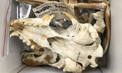 A harbor seal skull in a box