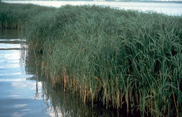 A clump of cordgrass (Spartina alterniflora) Photo: USDA-NRCS PLANTS Database