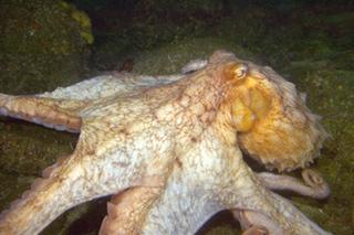 Giant Pacific Octopus; Photo by Kip F. Evans