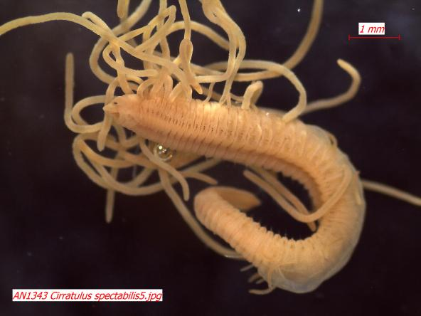 "Cirratulus spectabilis (Phylum Annelida, Class Polychaeta, Family Cirratulidae) – This polychaete annelid is known as a ""sphaghetti worm"" because of the tangled mass of branchia (gills) emerging from the segments. These are used for respiration. The number and placement of these are distinctive for each species in this family. (Photo: Maggie Dutch)"