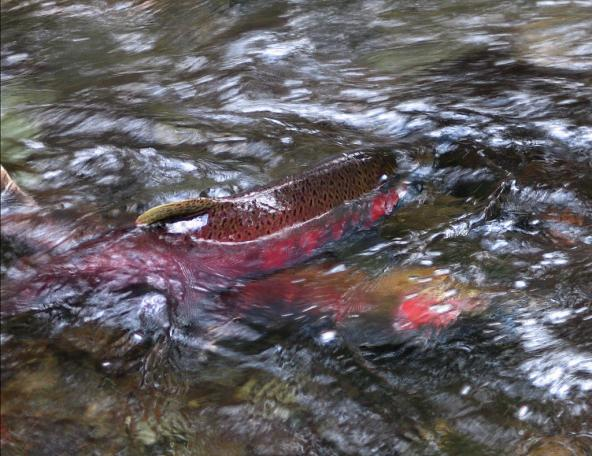 Salmon. Photo: Dan Hershman (CC BY-NC 2.0) https://www.flickr.com/photos/hershman/497293505