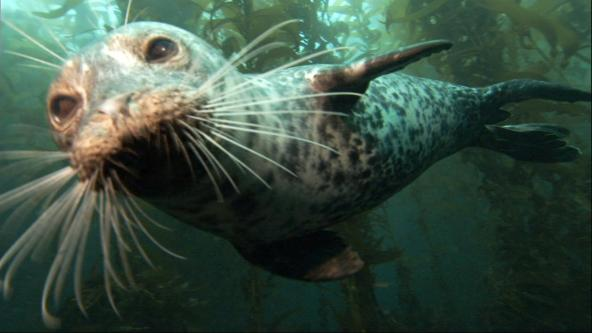 Harbor seal in Puget Sound. Photo courtesy of NOAA.