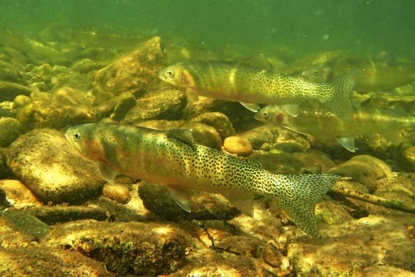 Cutthroat trout (Oncorhynchus clarki clarki). Photo: NOAA Fisheries West Coast